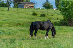 Friesian horse in the pasture royalty free stock images