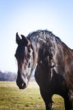 Friesian horse on pasture Stock Photos