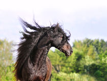 Friesian horse portrait with long mane Stock Photography