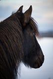 Friesian horse Royalty Free Stock Photo
