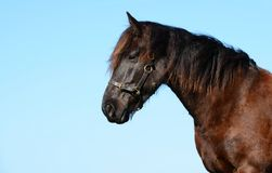 Friesian horse profile portrait Royalty Free Stock Image