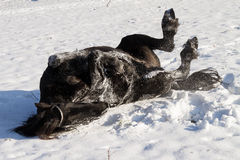 Friesian horse rolling in snow Royalty Free Stock Images