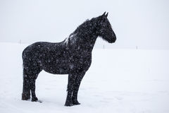 Friesian horse in the snow Royalty Free Stock Photo