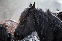 Friesian horse and snowfall Royalty Free Stock Image