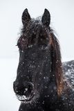 Friesian horse and snowfall Stock Images