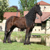 Friesian horse standing on the grass Stock Images