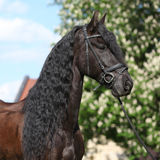 Friesian horse standing on the grass. Alone stock image