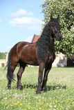 Friesian horse standing on the grass Stock Image