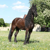 Friesian horse standing on the grass Royalty Free Stock Image