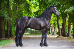 Friesian horse standing outdoors Royalty Free Stock Photography