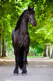 Friesian horse standing outdoors stock images