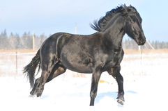Friesian horse in winter Royalty Free Stock Photos
