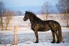 Friesian horse in winter Royalty Free Stock Image
