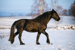 Friesian horse in winter Stock Images