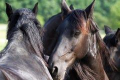 Friesian horses Royalty Free Stock Photos