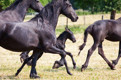 Friesian horses with a cute foal. Trotting over the paddock Stock Photography