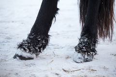 Friesian horses hooves Stock Images
