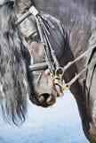 friesian konia portret Fotografia Royalty Free