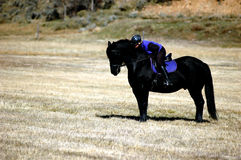 Friesian love. Woman in purple vest riding black friesian stallion and praising him in pasture as he stands gallant and regal Royalty Free Stock Photo