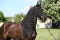 Friesian paard die zich op het gras bevinden Stock Foto