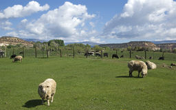 Friesian Sheep in Pasture. Wth buttes in background Stock Images
