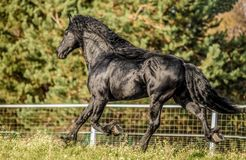 Beautiful black horse. The Friesian stallion gallops on the autumn meadow