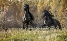 Friesian stallion in autumn colors