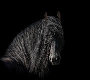 Friesian stallion Royalty Free Stock Image
