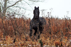 Friesian stallion Royalty Free Stock Photo