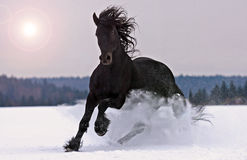 Friesian stallion gallop on snow. Friesian black horse gallop on snow Royalty Free Stock Photography