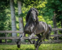 Friesian Stallion Galloping Stock Photo