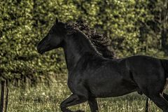 Friesian stallion gallops