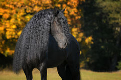 Friesian stallion. With long mane stock photography