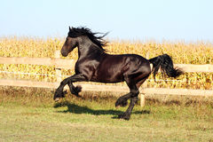 Friesian stallion Royalty Free Stock Photography