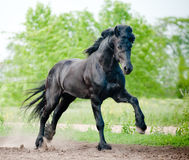 Friesian stallion running Stock Images