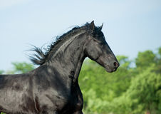 Friesian stallion Stock Image