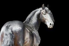 Friesianhäst som isoleras på svart bakgrund Fotografering för Bildbyråer