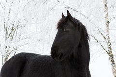 Friesianhästen i vinter med snö täckte träd royaltyfria bilder
