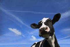 Friesische Kuh in Ihrem Gesicht stockfotografie