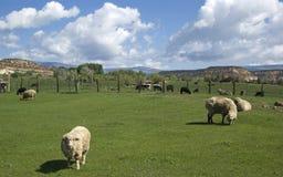 Friesische Schafe in der Weide Stockbilder