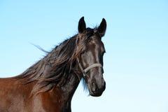 Friesisches Pferdestutenporträt Stockfotos
