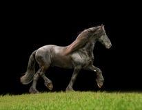 Friesisches Rind geben Pferd frei Lizenzfreie Stockfotos