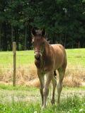 Friesisches Sport-Pferden-Fohlen Lizenzfreie Stockfotos