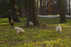 Frigör höna i trädgården Arkivfoto