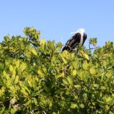 Frigate baby bird in Contoy island mangrove Royalty Free Stock Image