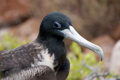 Frigate Bird. Royalty Free Stock Photography