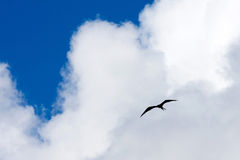 Frigate Bird Stock Photo