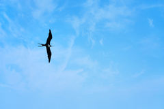 Free Frigate Bird Stock Photo - 16299890