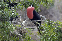 Frigate Bird Stock Image