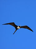 Frigate Bird. Flying against a blue background Royalty Free Stock Images